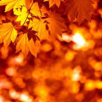 Fall orange brilliant leaves - canstockphoto7990901